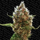 Lucid Bolt (Paradise Seeds) feminized