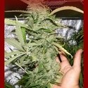 Crystal M.E.T.H. (Dr. Underground) feminized