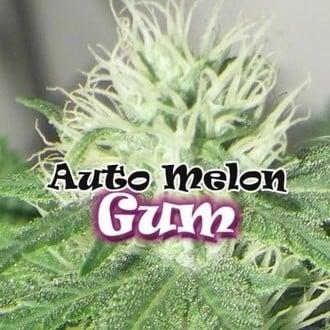 Auto Melon Gum (Dr. Underground) feminized