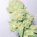 Y Griega CBD (Medical Seeds) femminizzata