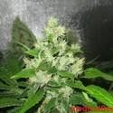 Y Griega CBD (Medical Seeds) feminisiert