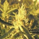 Y Griega CBD (Medical Seeds) feminisiert