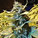 Auto Northern HOG (T.H. Seeds) feminized