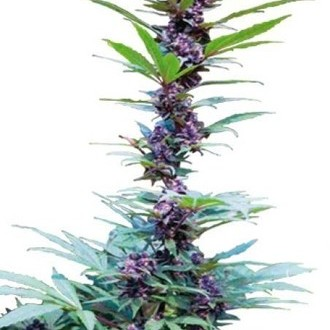 Deluxe Mix (Cannabiogen) feminized