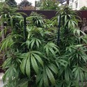 Outdoor Mix (Female Seeds) feminized