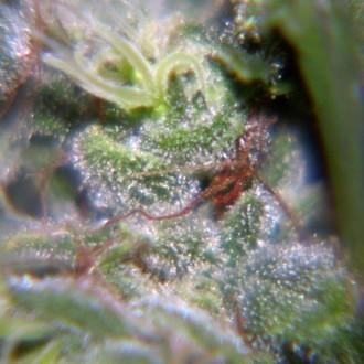 Nev. Haze (Female Seeds) femminizzata