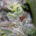 Nev. Haze (Female Seeds) feminized