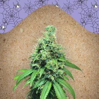 White Widow x Big Bud (Female Seeds) feminisiert