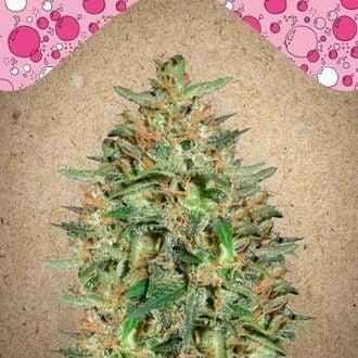 BubbleGummer (Female Seeds) feminisiert