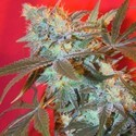 Iced Widow (Female Seeds) feminized