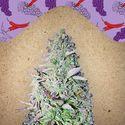Purple Maroc (Female Seeds) feminisiert