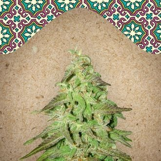 Maroc (Female Seeds) feminized