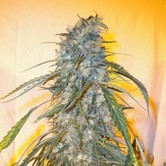 Annapurna SuperAuto (Flash Auto Seeds) femminizzata