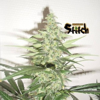 Diesel Haze Auto (Flash Auto Seeds) femminizzata