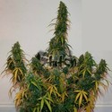Formula One Auto (Flash Auto Seeds) femminizzata