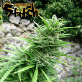 Muay Thai SuperAuto (Flash Auto Seeds) feminisiert