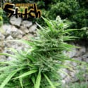 Muay Thai SuperAuto (Flash Auto Seeds) femminizzata