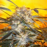 Nirvana Sky SuperAuto (Flash Auto Seeds) feminized