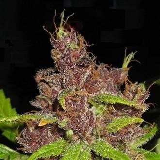 Purple Mazar Auto (Flash Auto Seeds) feminisiert