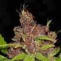 Purple Mazar Auto (Flash Auto Seeds) feminized