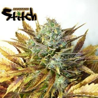 Purple Sirius Kush Auto (Flash Auto Seeds) feminized