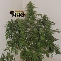 Russian Fuel Auto (Flash Auto Seeds) feminized