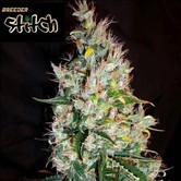 Russian Haze Auto (Flash Auto Seeds) feminisiert