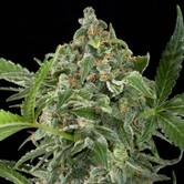 White Cheese Autoflowering (Dinafem) feminized