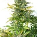 Stardust Auto (Flash Auto Seeds) feminized