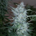 White Sirius Auto (Flash Auto Seeds) feminized