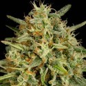 Strawberry Amnesia (Dinafem) feminized