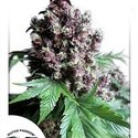 Frisian Duck (Dutch Passion) feminized