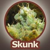 Skunk (John Sinclair Seeds) feminisiert