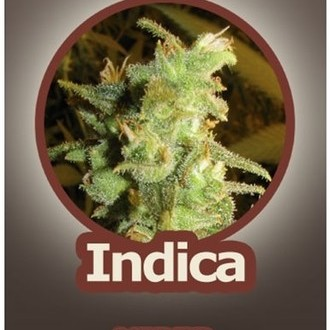 Viper (John Sinclair Seeds) feminized