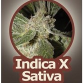 White Panther (John Sinclair Seeds) feminisiert
