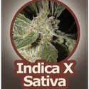 White Panther (John Sinclair Seeds) femminizzata