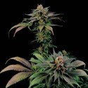 Blue Widow (Dinafem) feminized