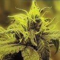 A-1 Haze (Sagarmatha Seeds) feminized