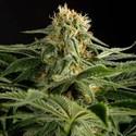 California Hash Plant (Dinafem) femminizzata
