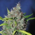 Blueberry Bud (Sagarmatha Seeds) feminized