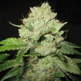 Cal-Train Wreck (Sagarmatha Seeds) feminized