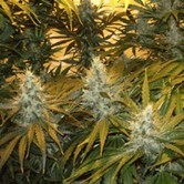 Chunky Cheeze (Sagarmatha Seeds) feminized