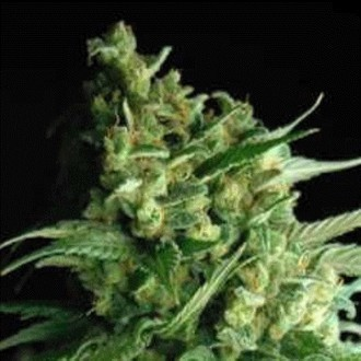 Double Bubble Berry (Sagarmatha Seeds) feminisiert