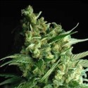 Double Bubble Berry (Sagarmatha Seeds) feminized