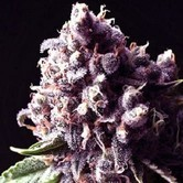 Purple Pinecone (Sagarmatha Seeds) feminized