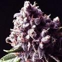 Purple Pinecone (Sagarmatha Seeds) femminizzata
