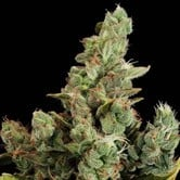 Cheese (Dinafem) feminized