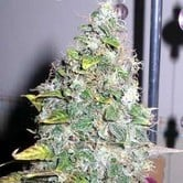 Smurfberry (Sagarmatha Seeds) feminized