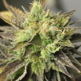 Strawberry D-Lite (Sagarmatha Seeds) femminizzata