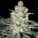 Western Winds/Kali Mist (Sagarmatha Seeds) feminized